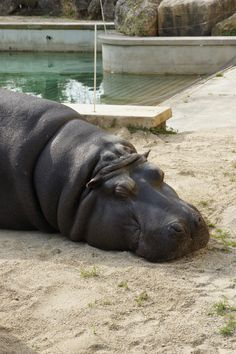 Is there anybody saying that hippopotamis aren't cute? Zoo of Vienna, Austria. Vienna Austria, Hippopotamus, Old Things, Cute, Animals, Beautiful, Animales, Animaux, Kawaii