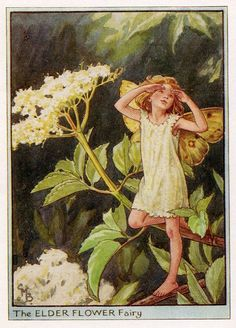 The Elder Flower Fairy. Vintage flower fairy art by Cicely Mary Barker. Taken from 'Flower Fairies of the Trees'. Click through to the link to see the accompanying poem. Cicely Mary Barker, Flower Fairies, Flower Tree, Kobold, Fairy Pictures, Vintage Fairies, Baby Fairy, Beautiful Fairies, Elderflower