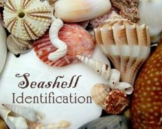 I have lots of seashells collected from Florida beaches and if you collect shells too, you might be interested in this seashell identification...