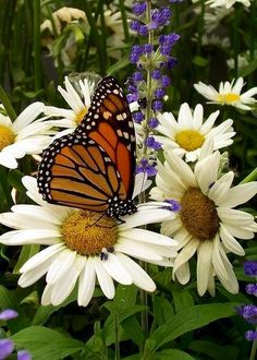 Butterfly on daisies via Carol's Country Sunshine on Facebook