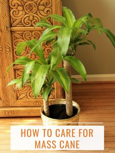 How to Care for Mass Cane (a. Corn Plant or Dracaena Massangeana) Mass cane, more commonly refer Indoor Palm Trees, Palm Tree Plant, Trees To Plant, Indoor Plants, Plant Leaves, Yellow Leaves On Plants, Porch Plants, Indoor Flowers, Green Leaves