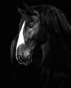 These ancient Iberian breeds bring a touch of history and romance into our lives but also they are horses that are very capable of shining in the modern equestrian climate.  Photo by Andrea Kjellberg