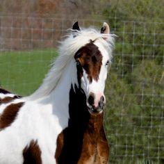 Gypsy Vanner Horse Westmoreland Sugar Baby  www.gypsyvannerforsale.com