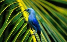 Blue-gray tanger in a palm tree in Trinidad and Tobago - The Washington Post