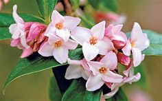 """hardy Daphne bholua """"Jacqueline Postill"""" also has a lovely scent."""