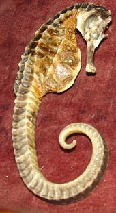 big belly seahorse found in New Zealand waters
