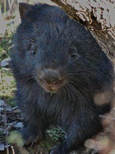 Wombat of Australia Baby Wombat, Rare Animals, Strange Animals, Quokka, Pet Rats, Animals Beautiful, Pet Birds, Mammals, Animal Pictures