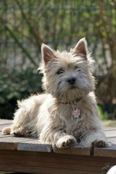 Radar has to be a Cairn Terrier mix.