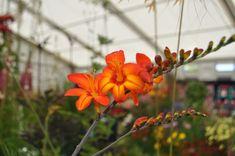 Crocosmia Firestars Scorchio Rhs Hampton Court, Crocosmia, Flower Show, Hot Days, Days Out, That Way, The Hamptons, Palace, Flowers
