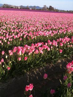 Washington Tulips!!