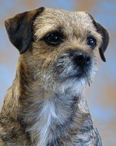 Border terier_border terrier.jpg (595×750)