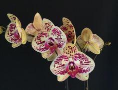 Phalaenopsis Yellow Spotty