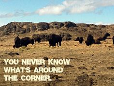 We made a left turn onto a long driveway in Washington State and discovered buffalo.