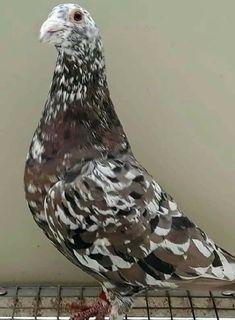 Pretty Birds, Beautiful Birds, Racing Pigeon Lofts, Pigeon Loft Design, Cute Pigeon, Pigeon Pictures, Homing Pigeons, Pigeon Breeds, Birds 2