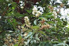 Syzygium gratum Planting, Thailand, Plants
