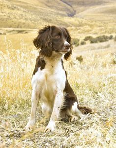 English Springer Spaniel...actually takes my breath away