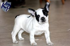 Buy a french bulldog in pa