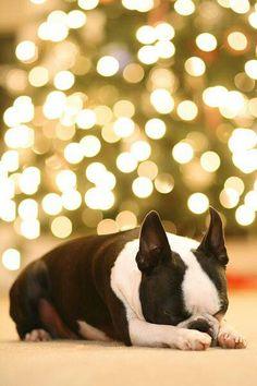 low priced 8752e 1ae53 Praying boston terrier Boston Terriers, Boston Terrier Love, Terrier Dogs,  Terrier Mix,