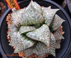Haworthia comptoniana 'Karakusa Zishi'