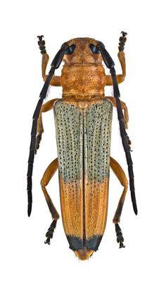 Stibara apicalis