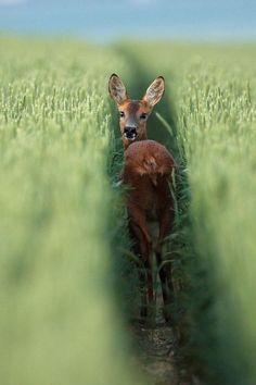 Roe deer - Chevreuil dans un champ de blé. by Alain Balthazard