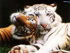 Google Image Result for http://images.fanpop.com/images/image_uploads/big-cats-the-animal-kingdom-250742_1024_768.jpg