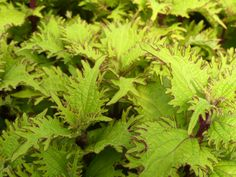 Coleus 'Coleo' https://thegardendiaries.wordpress.com/2016/04/27/blooming-hill-greenhouse-a-family-owned-business/