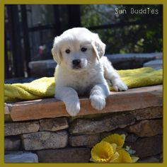 Beautiful Golden Puppy!  #puppy #puppies #cute