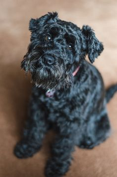 Poppy the Black Miniature Schnauzer by Emma Louise
