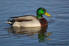 Teal Duck, Flight Feathers, National Geographic Maps, Duck Bird, Migratory Birds, Baby Ducks, Mallard, Pet Birds, Underwater