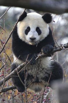 """burning-soul: """" """"Photograph by Josef Gelernter Panda Love, Cute Panda, Beautiful Horses, Animals Beautiful, Baby Animals, Cute Animals, Wild Creatures, Fauna, Polar Bear"""