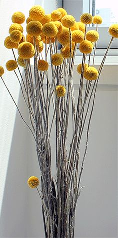 Dried Flowers / Craspedia/accent flowers for the bridesmaids bouquets and guest table arrangements.