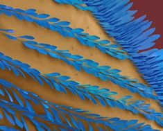 Bromeliad Mosquito Wing- electron microscope
