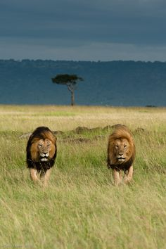 Leonine camaraderie on the African plain.