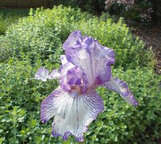 Iris in my garden. By Cynthia Stammers