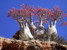 """Árvores florescendo na remota ilha de Socotra, pertencente ao Iêmen, e conhecida como """"o lugar mais estranho na terra"""". Dorstenia gigas, é uma planta rara da ilha de Socotra. Ela desenvolve um tronco principal atarracado que pode ter vários grandes ramos verticais e horizontais e muitos galhos menores. O corpo todo tem um tom verde claro. As folhas são verdes quando jovens, mas ficam alaranjadas na parte inferior quando terminam seu ciclo de vida. Fotografia: Reddit user Geeky."""