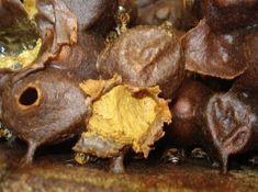 Ração protéica para abelhas sem ferrão