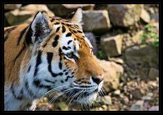 Tiger di michael mandt