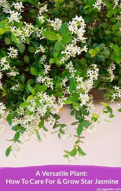 Star Jasmine can be trained to grow on a trellis, over an arbor, as an espalier against a wall or fence, as a border plant or hedge, to spill over a wall & it's also suited to containers. The sweetly scented star-like flowers along with the gorgeous glossy foliage are its big draw. This is all about how to care for and grow Star Jasmine - a video guides you.