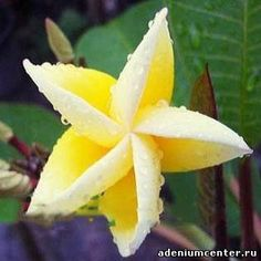 Plumeria 'Yellow Dream'