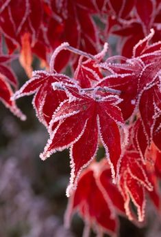 Beautiful Autumn Leaves Japanese Maple Varieties, Acer Palmatum, Winter Scenery, Winter Wonder, Cool Plants, Red Flowers, Beautiful World, Autumn Leaves, Color Themes