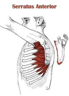 Best Exercises: challenges the serratus anterior to stabilize the scapula during movement. -the pilates push-up will also strengthen this muscle with conscious control. Best Yoga Postures: Gomukhasana (cow faced pose)
