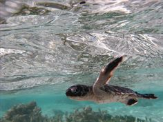 Watch baby turtles hatch with your own eyes. Mon Repos, near Bundaberg is Australia's most accessible sea turtle rookery. More about Turtles here: http://www.queenslandholidays.com.au/experiences/natural-encounters/animal-encounters/turtles-timeline.cfm?cmpid=1996