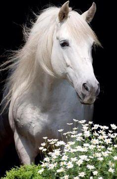 Beyaz at Asil atlar