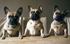 frenchie // dinner time // handsomedogs
