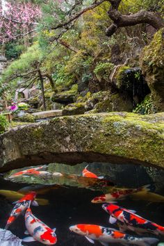 Photo about Koi swimming under stone bridge in a Japanese garden with cherry blossom in background, in kyoto japan, spring time. Image of pond, moss, asia - 73697200