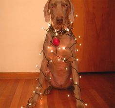 *all I want for Christmas . . . * (disclaimer: not condoning animal cruelty, psychological or otherwise) #weimawish