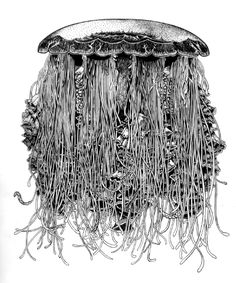 The Lion's Mane - Cyanea capillata, medusa - Beautiful scientific illustrations of freelance scientific illustrator and plein-air fine arts artist Patrice Stephens-Bourgeault