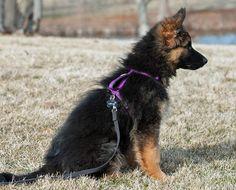 Lara the German Shepherd Dog