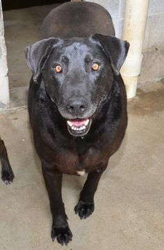 08/10/14 sl LOOK at Their petfinder page!! I can't pin it :( **SUPER URGENT **  Sam + General Black Labrador Retriever & Great Dane Mix • Senior • Male • Extra Large Bowling Green-Warren County Humane Society Bowling Gre...